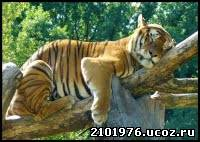 тигр совместимость
